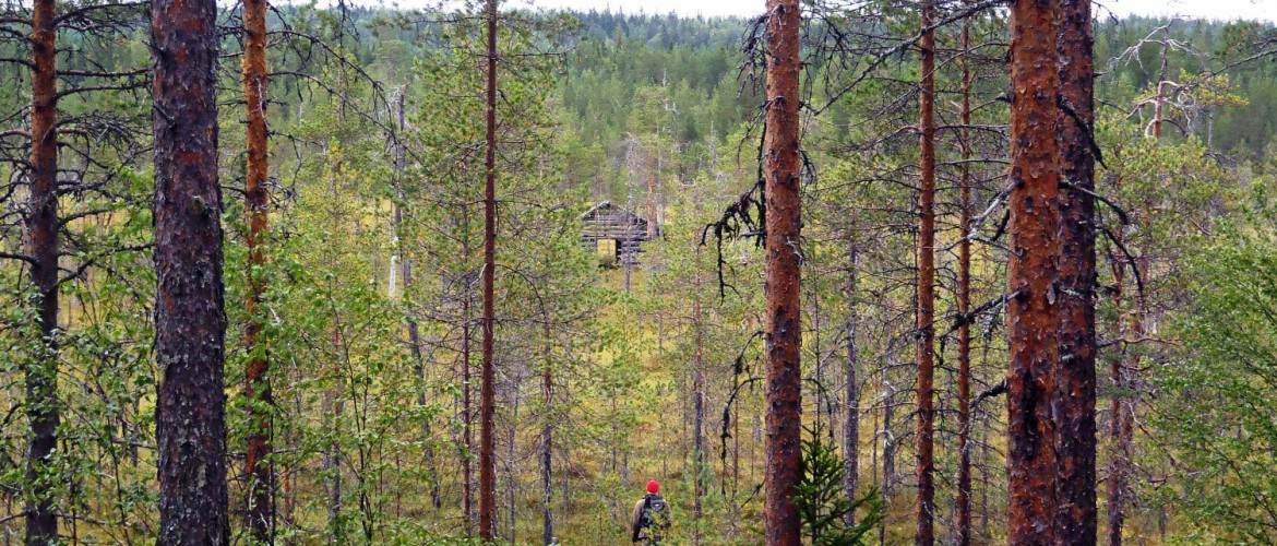 Pineforest in Finland
