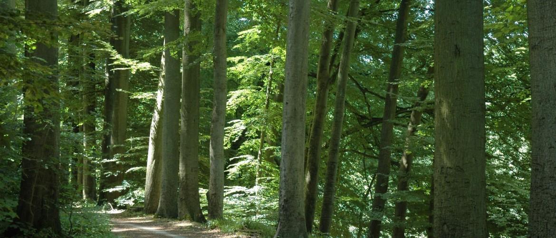 Beech forest Belgium, Flanders, forest road