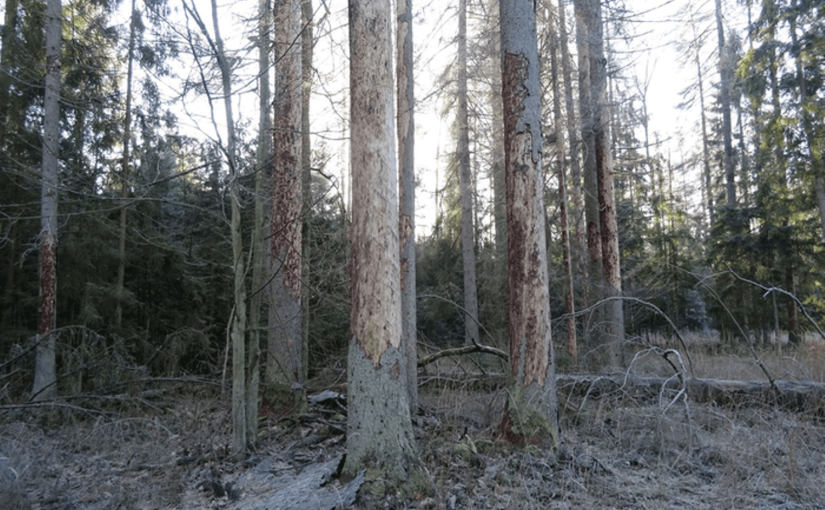 WHAT IS GOING ON IN THE BIAŁOWIEŻA FOREST? – updates by LASY PAŃSTWOWE (POLAND)