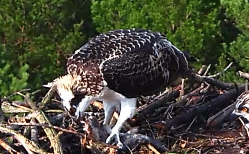 Watch Ospray Nesting Online